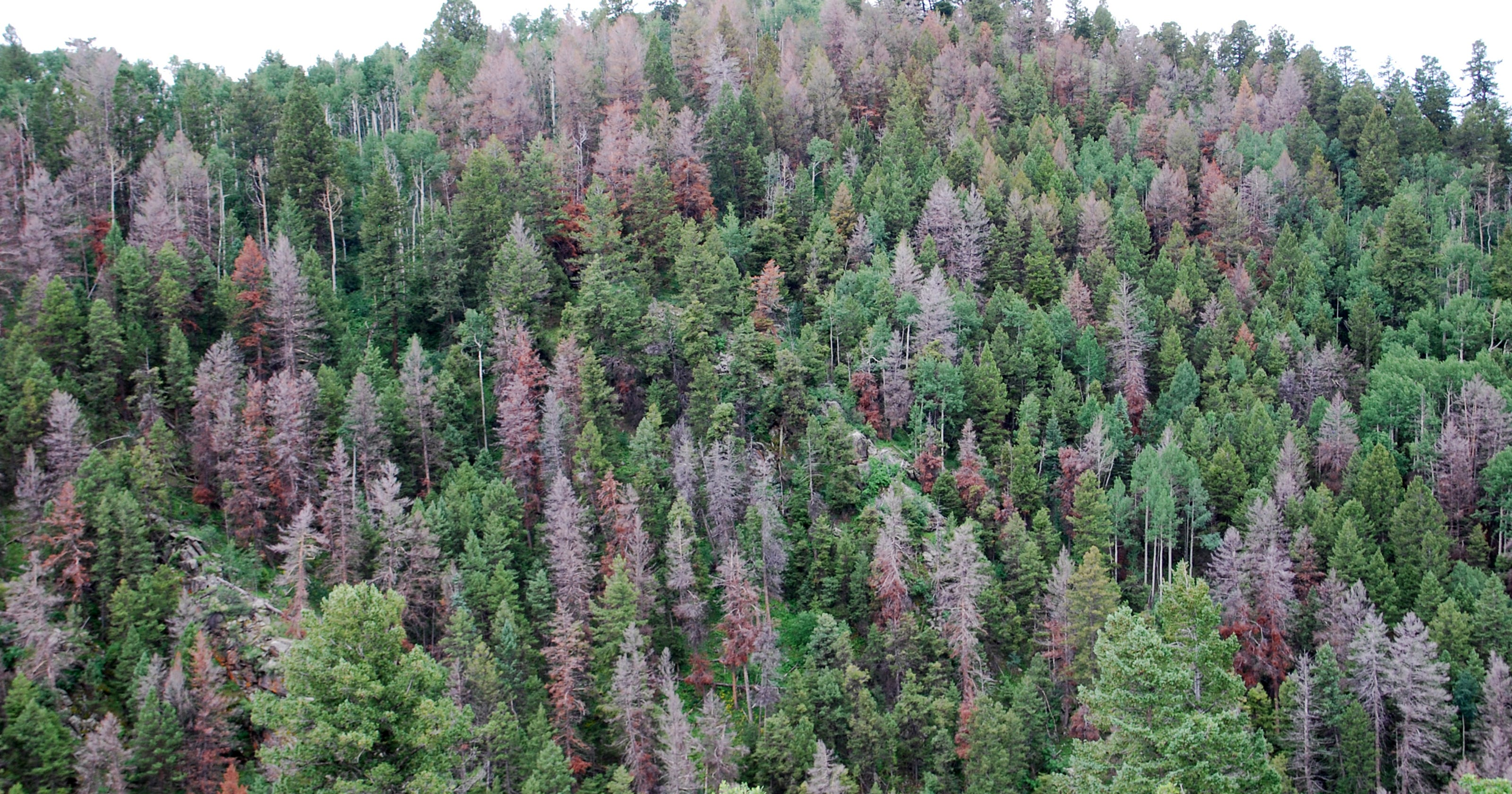 Lingering dead trees in Colorado forests put us in danger of