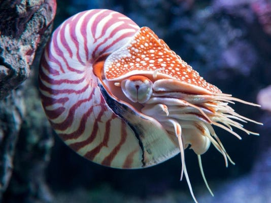 chambered-nautilus.jpg