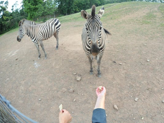 Visitors try to lure over a zebra with crackers at the Lake Tobias Wildlife Park in Halifax in this photo taken in 2013.