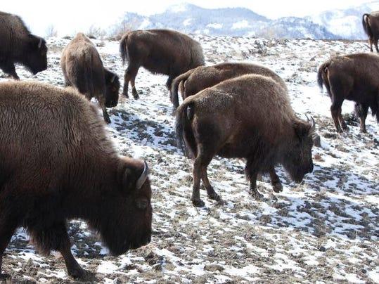 -Yellowstone Bison Dis_Fran.jpg_20140213.jpg