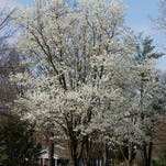 What to do when the dreaded Callery pear tree rears its head in Kentucky