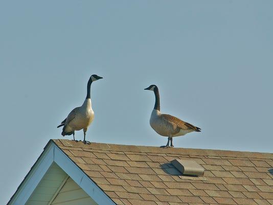 635911544940301094-geese-on-house-ankeny.jpg