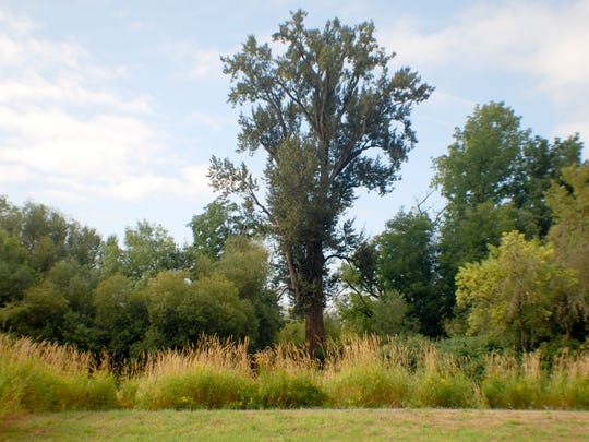 The largest black cottonwood tree in the United States