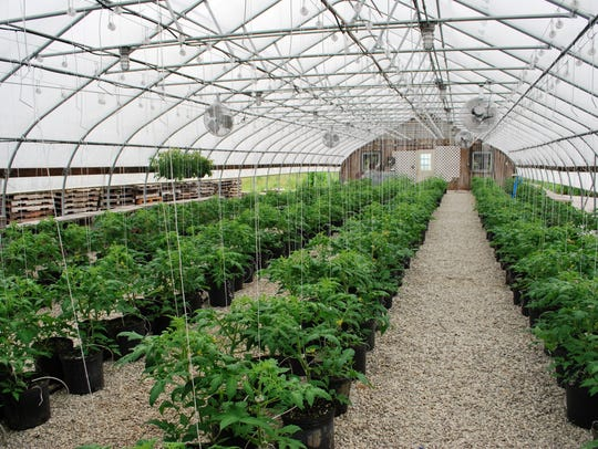 Tomato plants in a greenhouse at Adams Farm Market