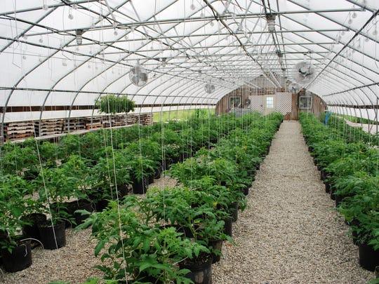 Tomato plants in a greenhouse at Adams Farm Market