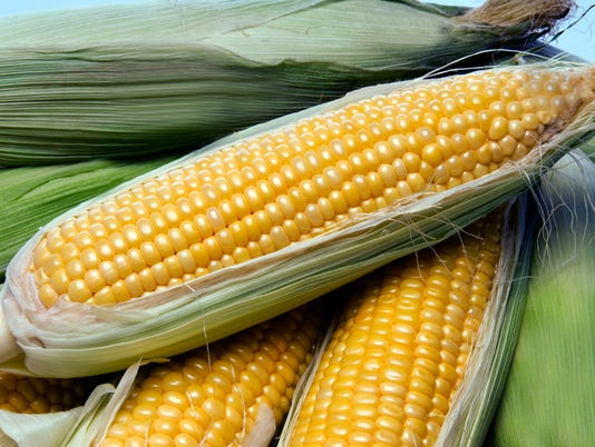 Corn on the cob fresh from farm