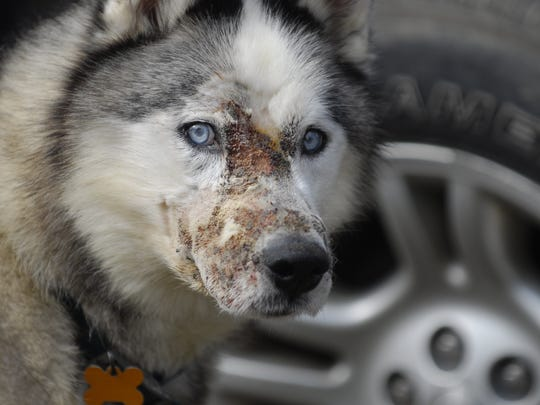 Logan, a husky owned by  by Matt Falk of Wales Township,