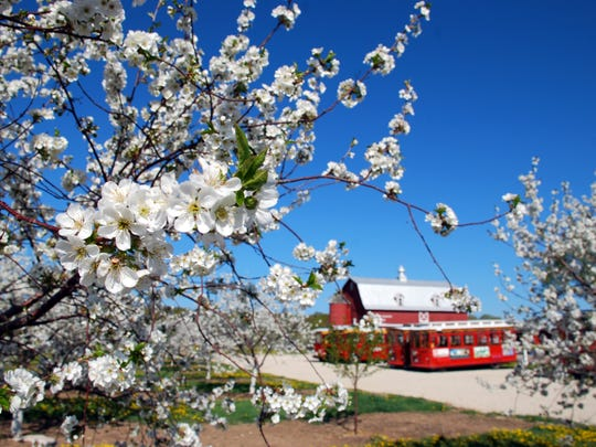 More than 2,500 acres of cherry blossoms take orchards