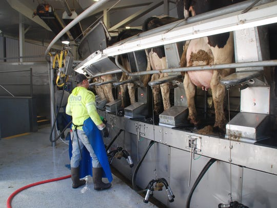Five workers at a time can put a 300-cow group through the Ebert's new parlor in 35 minutes. The parlor was added to Ebert Enterprises as they expanded their herd to 3,000 cows.
