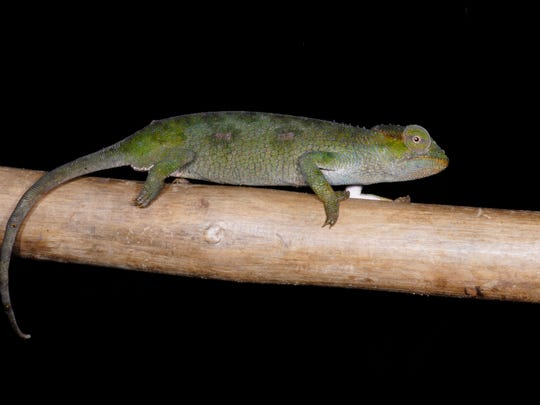 The Itombwe Forest Chameleon is one of three new chameleon species discovered by UTEP doctoral candidate Daniel Hughes.
