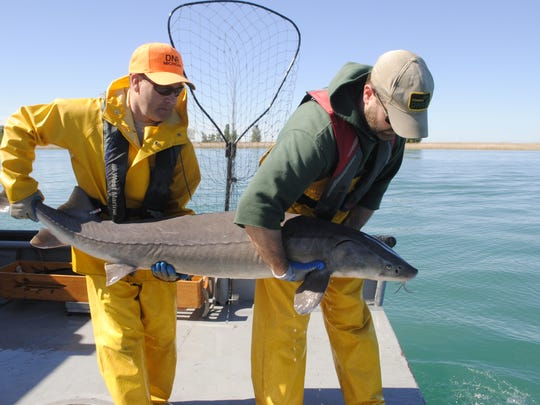 Jason Pauken, left, and Brad Ultrup prepare to release a lake sturgeon.