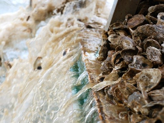 Baby oysters produced at the UMD Horn Point Laboratory
