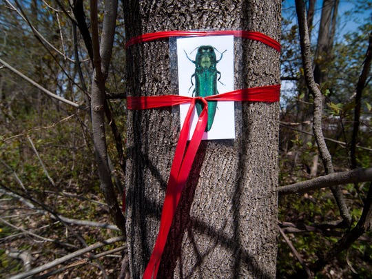 A laminated picture of an emerald ash borer beetle is tied to a tree in Randolph during a simulation in 2012. The exercise was meant to show various state agencies what to do if the destructive beetle is found in Vermont. The state disclosed Tuesday, Feb. 27, 2018, that the invasive species has been discovered in Vermont.
