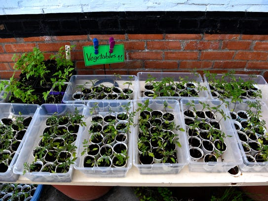 Heirloom tomato plants sit in tubs at the Cross Plains Garden Club's annual plant sale Friday.