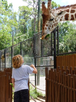 A local boy feeds Bruehler lettuce after learning about giraffes through an informational session with Zookeeper Sarah Sconyers at the Naples Zoo. Ashley Collins/Staff