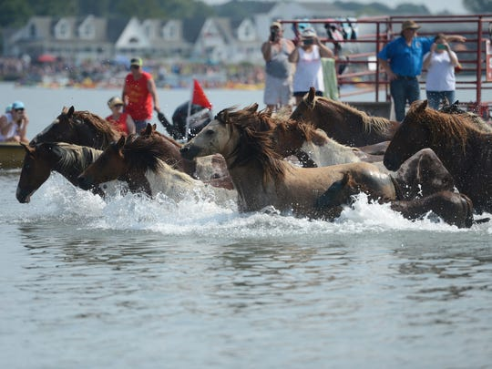 Chincoteague Ponies hit the water for the 91st annual Chincoteague Pony Swim across Assateague Channel on Wednesday, July 27, 2016.