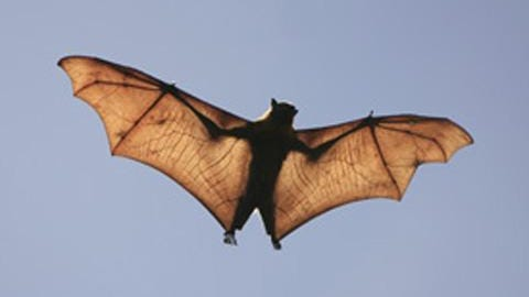 Nine bats in San Bernardino County, like the one pictured, have tested positive for rabies, public health officials announced Thursday, July 30, 2020.