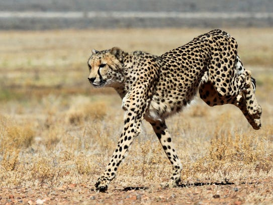 Is there an American cheetah?