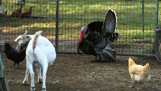In a Nov. 20 photo, a goat, two chickens and a turkey roam at Cozy Critters Farm near Sour Lake, Texas. Rural animals continue to face issues of parasites, bacteria and trauma from Tropical Harvey.