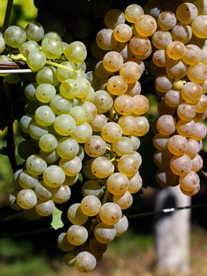 File photo of grapes in a vineyard ready for picking.