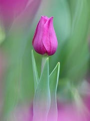 Paul Seymour of Westland won first place last year in White Chapel Cemetery's annual tulip photo contest. The 2018 contest runs through May 27, at the cemetery in Troy.