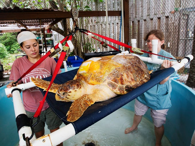 An injured loggerhead sea turtle recovering at the