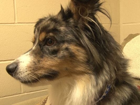 Bell waits for her owners to arrive at clay humane to take her home