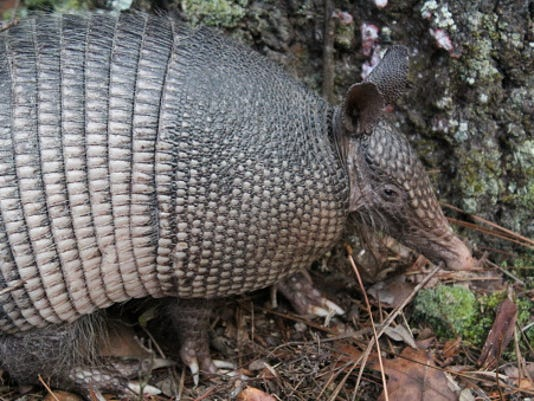 Expert Tips How To Get Rid Of Armadillos