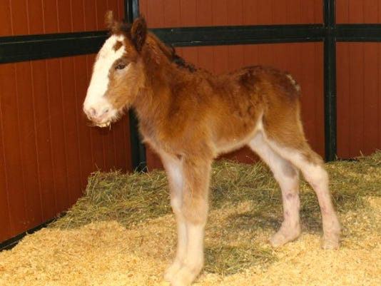 Clydesdale foal born at Warm Springs Ranch