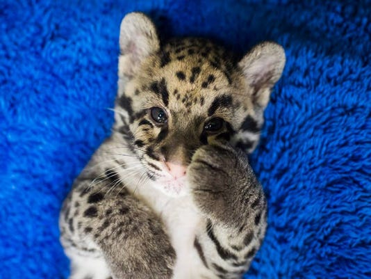 meet 4 clouded leopard cubs at point defiance zoo