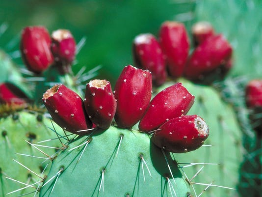 12 places you can eat prickly pear cactus in arizona