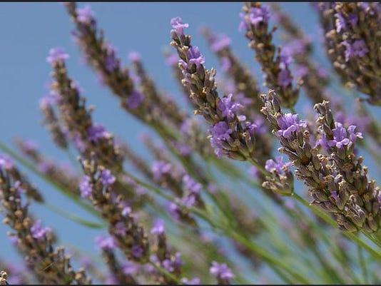 635756633031057180-lavendar