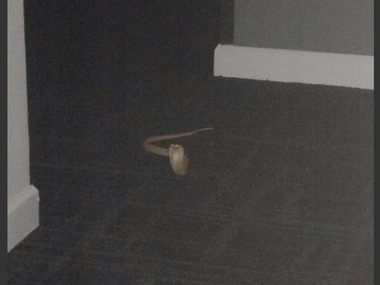 635738076805246711-Adam-pkg-cobra-found-in-apt-hallway