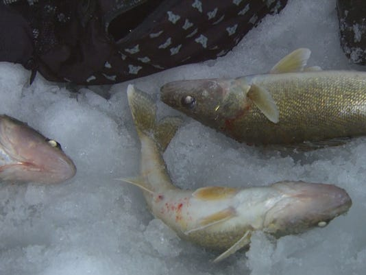 5 year plan for leech lake shows healthy walleye population for Mn ice fishing show