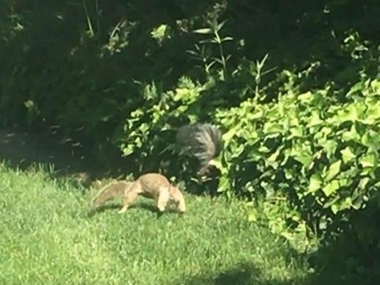 Skunk and squirrel