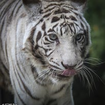 Cincinnati Zoo's last white tiger euthanized
