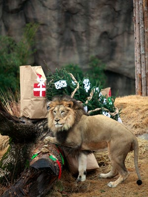 John the lion starts to open some of his presents from Santa.