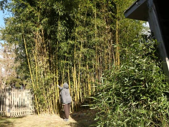"A Hillsdale resident who gave her name only as Lisa said it would be ""ridiculously expensive"" to remove the bamboo growing in her yard."