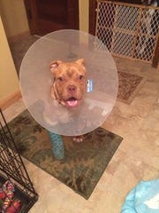 Jolene, a mixed breed pup, recently underwent surgery