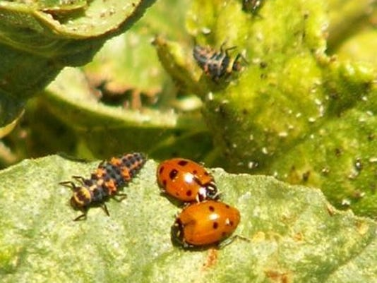 636010852239916050-adult-and-larvae-lady-bird-beetles-feeding-on-aphids-by-W.-Mazet.jpg