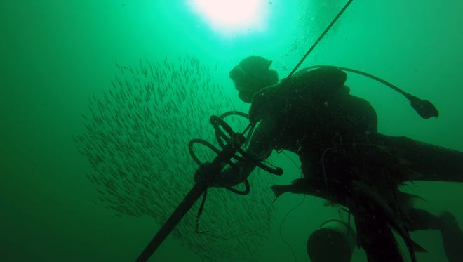 Bill D'Antuono, founder of the Naples Spearfishing League, does some underwater hunting on the natural ledges of the Gulf of Mexico off the coast of Collier County on Monday, Sept. 13, 2016.