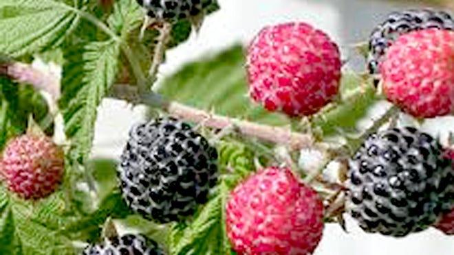 Few birds feed on raspberries.