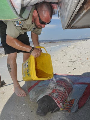 Tanner Keilty, a park ranger at Lovers Key State Park, pours water over the infant manatee while he waits for FWC to arrive.