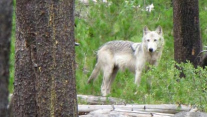 A wolf killed after livestock attacks was a breeding female.