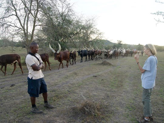 A Ugandan man was driving his ancient breed of long-horned