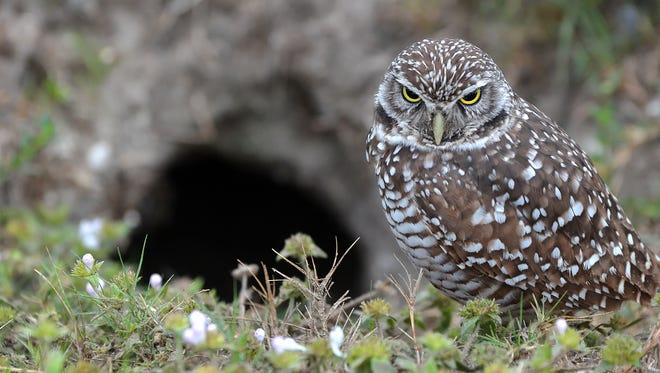 A burrowing owl guards his nest on Marco Island.