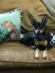 Zeke relaxes on the couch at his new home.