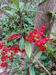 Coral ardisia has bright red berries in winter.