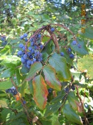 A woody shrub that resembles holly, tall Oregon grapeproduces