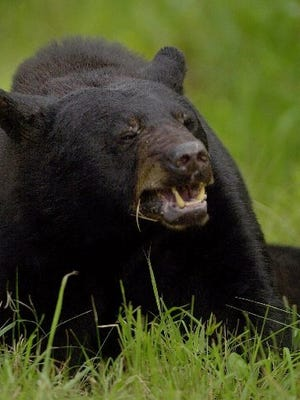A black bear died in Michigan  in 2011 of chocolate poisoning.